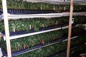 Nieuws: 5000 hennepstekken en honderden moederplanten aangetroffen i