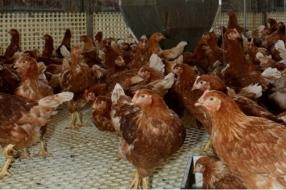 Animal Rights glipt 's nachts kippenschuren binnen om misstanden te filmen, boeren zijn boos
