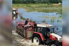 Boer brengt Westervoortse koeien naar droge