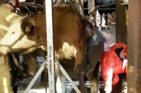 Nieuws: Brandweer redt twee koeien uit put in Velp