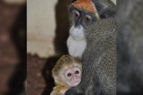 Deze soort apen krijgen hier niet zo vaak baby's, maar Mouche is het maar mooi gelukt