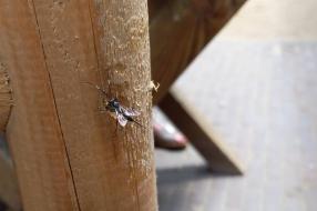 Nieuws: Een nieuwe sluipwespsoort? Frans Kapteijns antwoordt in Stui