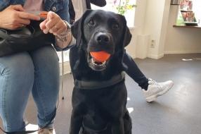 Nieuws: Labrador Diezel was te dik, maar zit door streng regime nu b
