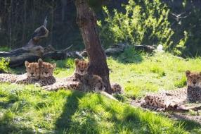 Nieuws: Mama cheetah en haar jonkies voor het eerst naar buiten in Z