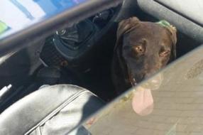 Nieuws: Man bekeurd voor achterlaten hond in hete auto