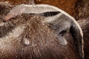 Nieuws: Miereneter geboren in ZooParc Overloon: publiek mag naam ver