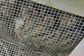 Nieuws: Minder eikenprocessierupsen, maar weggewaaide nesten kunnen