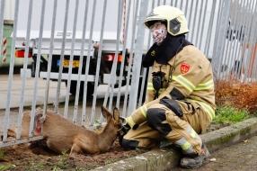 Nieuws: Ree komt klem te zitten tussen de spijlen van een hek in Cui