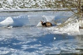 Nieuws: Schaatsers jagen reeën de dood in bij Velp
