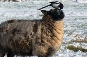 Nieuws: Wat moeten al die eksters bij de schapenwei? Frans Kapteijns