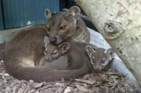 Nieuws: Zeldzame fossa's geboren in Zooparc Overloon